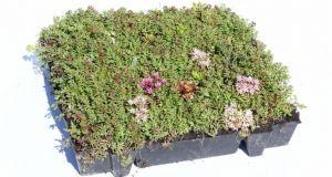 groendak sedumtray TE 45 x 49.5 cm